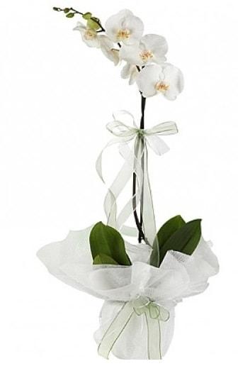 Tekli Beyaz Orkide  Ağrı hediye çiçek yolla