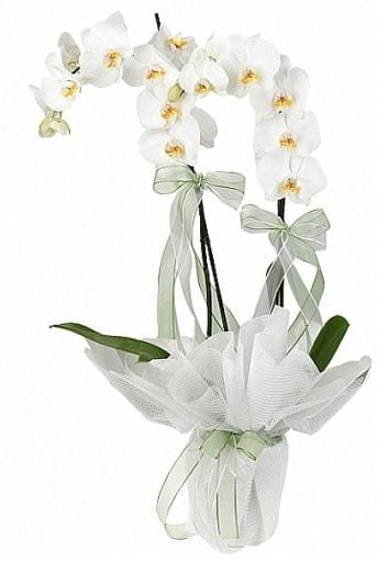 Çift Dallı Beyaz Orkide  Ağrı anneler günü çiçek yolla
