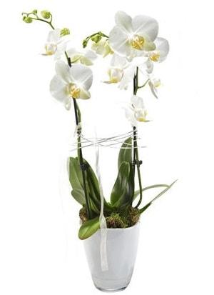 2 dallı beyaz seramik beyaz orkide saksısı  Ağrı çiçek gönderme sitemiz güvenlidir
