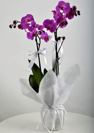 Çift dallı saksıda mor orkide çiçeği  Ağrı çiçek siparişi vermek