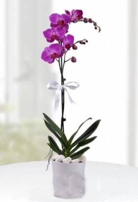 Tek dallı saksıda mor orkide çiçeği  Ağrı çiçekçiler