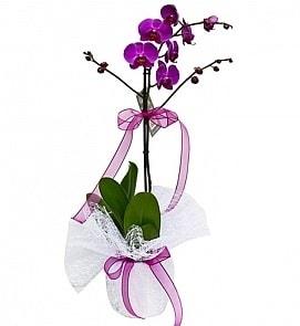 Tek dallı saksıda ithal mor orkide çiçeği  Ağrı çiçekçiler
