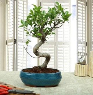 Amazing Bonsai Ficus S İthal  Ağrı internetten çiçek siparişi
