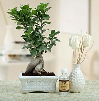 Ginseng ficus bonsai  Ağrı çiçekçiler