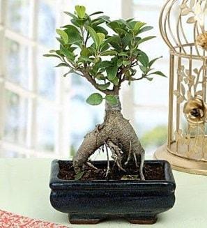 Appealing Ficus Ginseng Bonsai  Ağrı anneler günü çiçek yolla
