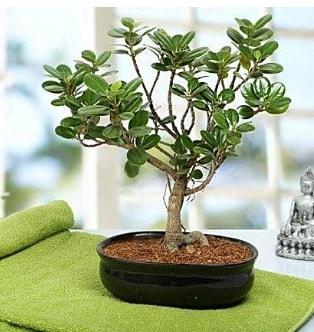 Lovely Ficus Iceland Bonsai  Ağrı anneler günü çiçek yolla