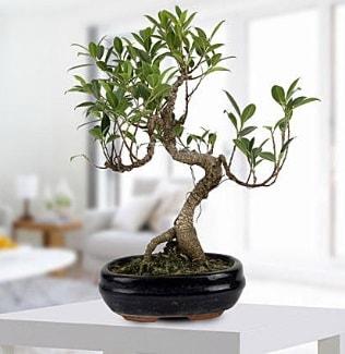 Gorgeous Ficus S shaped japon bonsai  Ağrı yurtiçi ve yurtdışı çiçek siparişi