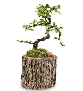 Doğal kütükte S bonsai ağacı  Ağrı çiçek satışı