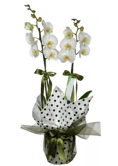 Çift Dallı Beyaz Orkide  Ağrı 14 şubat sevgililer günü çiçek