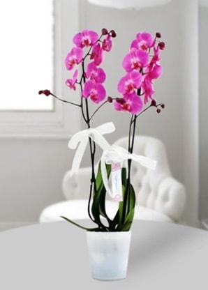 Çift dallı mor orkide  Ağrı çiçekçiler