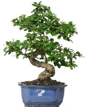 21 ile 25 cm arası özel S bonsai japon ağacı  Ağrı çiçekçi telefonları