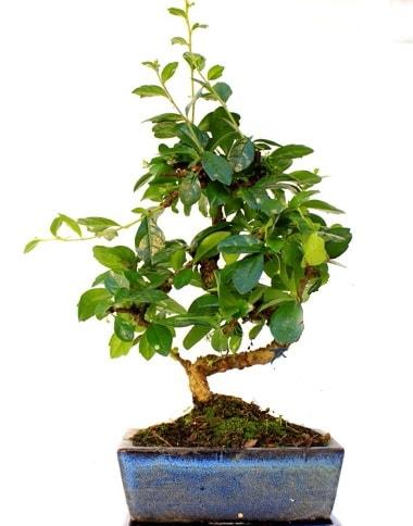 S gövdeli carmina bonsai ağacı  Ağrı çiçek yolla  Minyatür ağaç