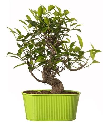 Ficus S gövdeli muhteşem bonsai  Ağrı çiçek siparişi sitesi